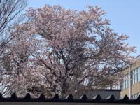 桜2aaa.png