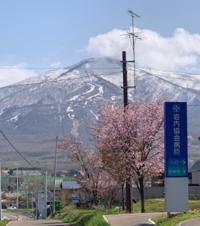 桜1aaaa.png